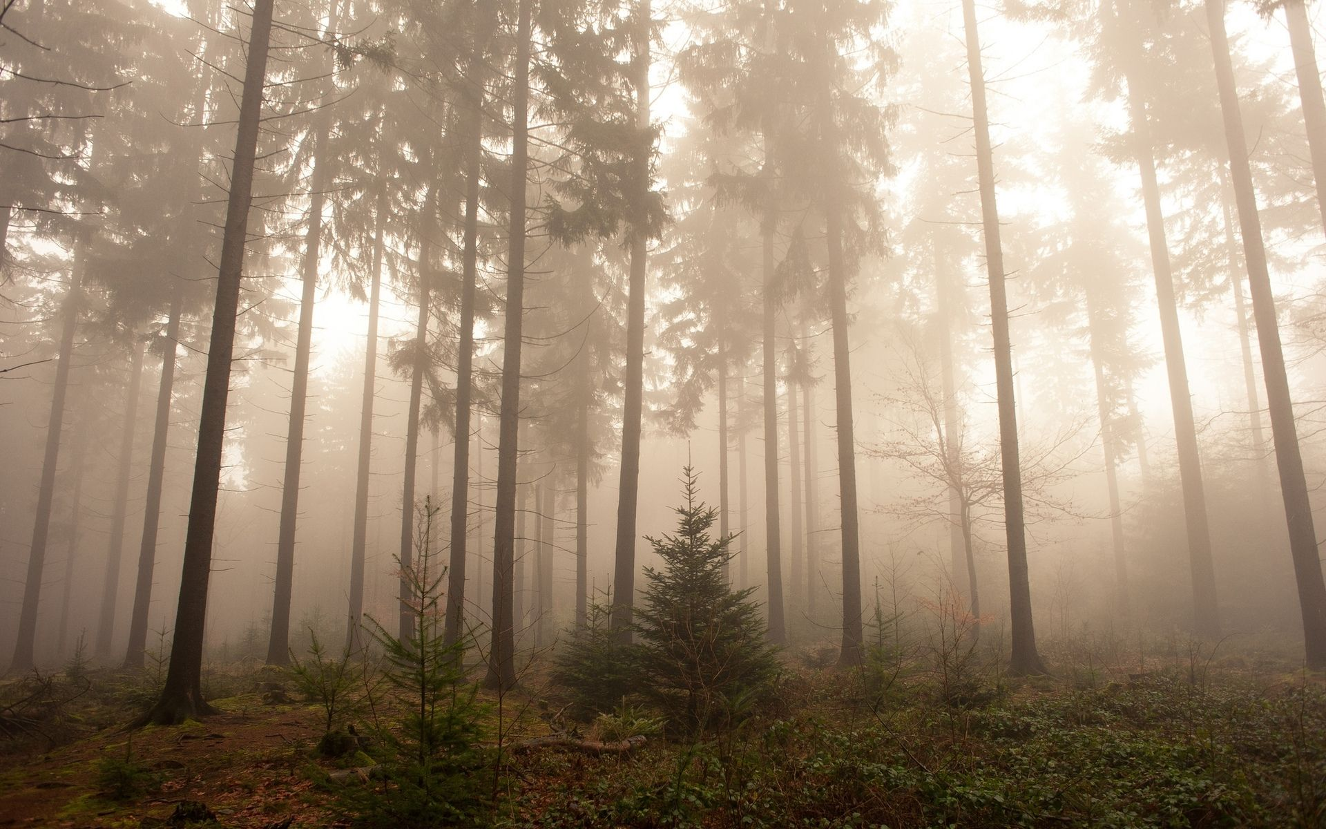 Foggy Forest Wallpaper Foggy forest, Fog images, Forest