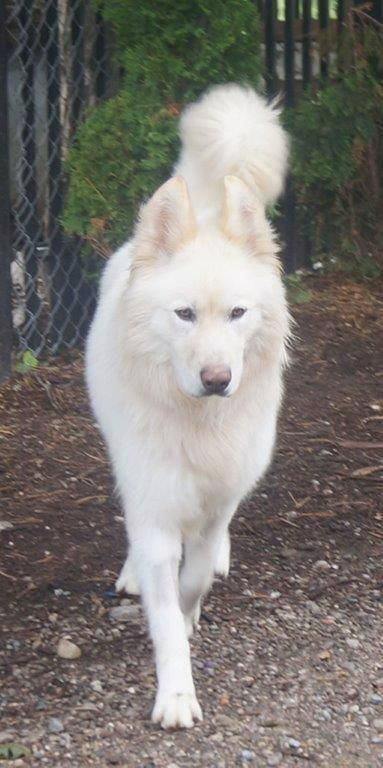 Samoyed White German Shepherd Mix Male Hunde Mischlinge Hunde Samojede Welpe