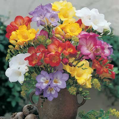 Mixed Freesia Direct Gardening Fragrant Flowers Fragrant Plant Wonderful Flowers