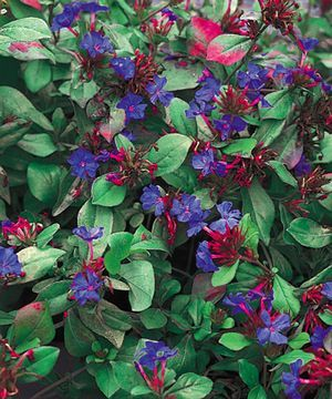 Ceratostigma Plumbaginoides Leadwort Blue Plumbago My Husband Calls It A Noxious Weed I Call The Perfect Ground Cover Three Seasons Of Interest And