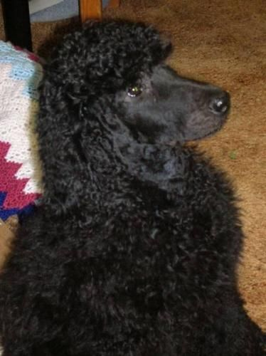 Standard Poodles Standard Poodle Puppies For Sale In Salmon Arm