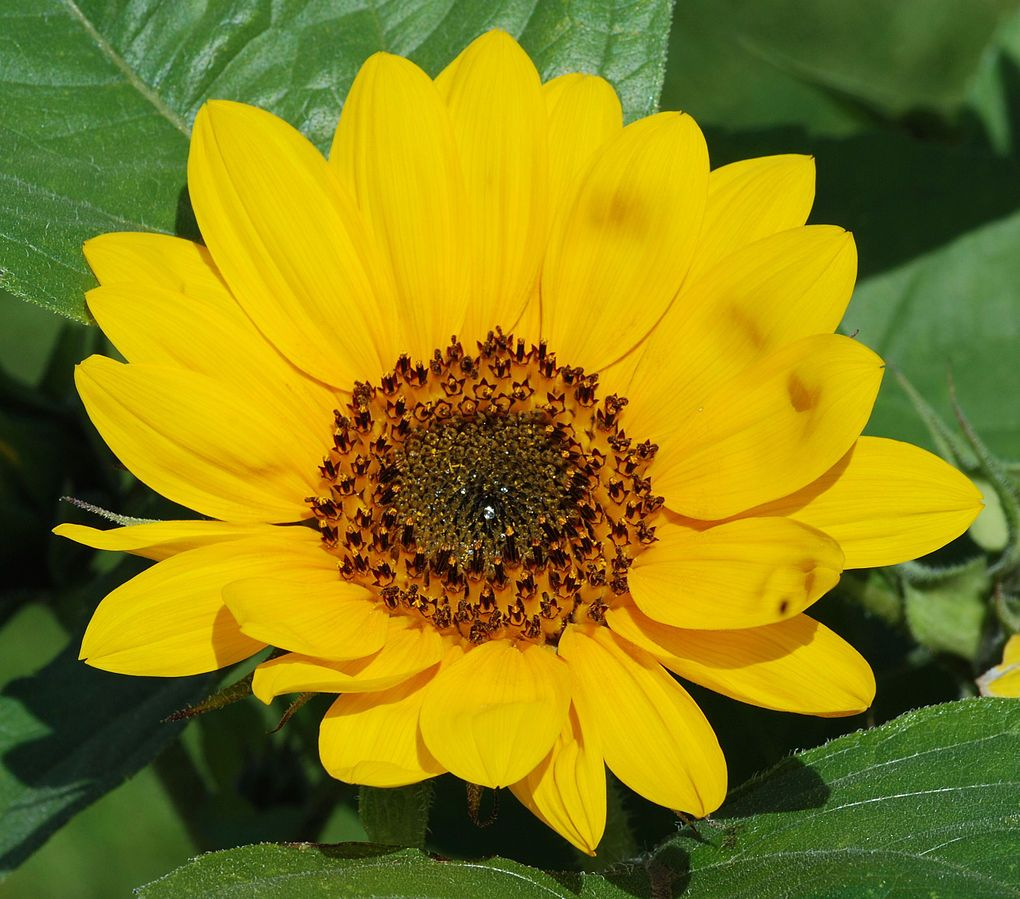 Sunflower Helianthus Annuus Pseudanthium Transparent Flowers Flower Names Flower Images