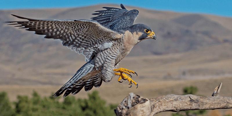 El Halcón Es El Animal Más Rápido Del Mundo Falco Peregrinus Aves Rapaces Aves De Rapiña