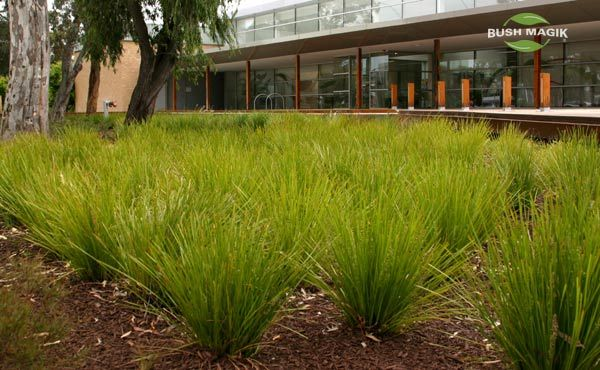 Lomandra lime tuff mass planting plants lomandra - What is lime used for in gardening ...