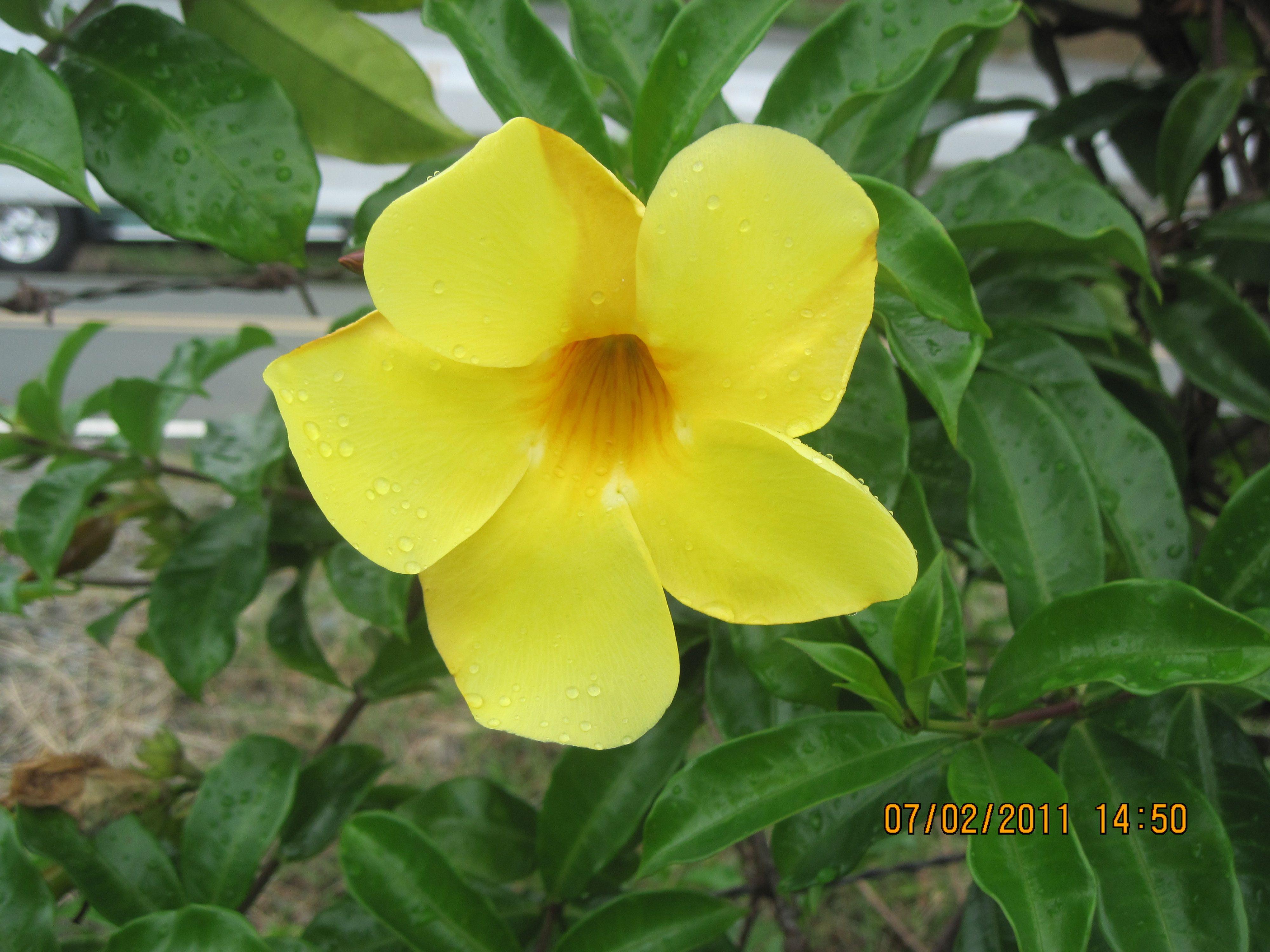 Yellow Bell Flower Garden landscaping, Flowers, Garden