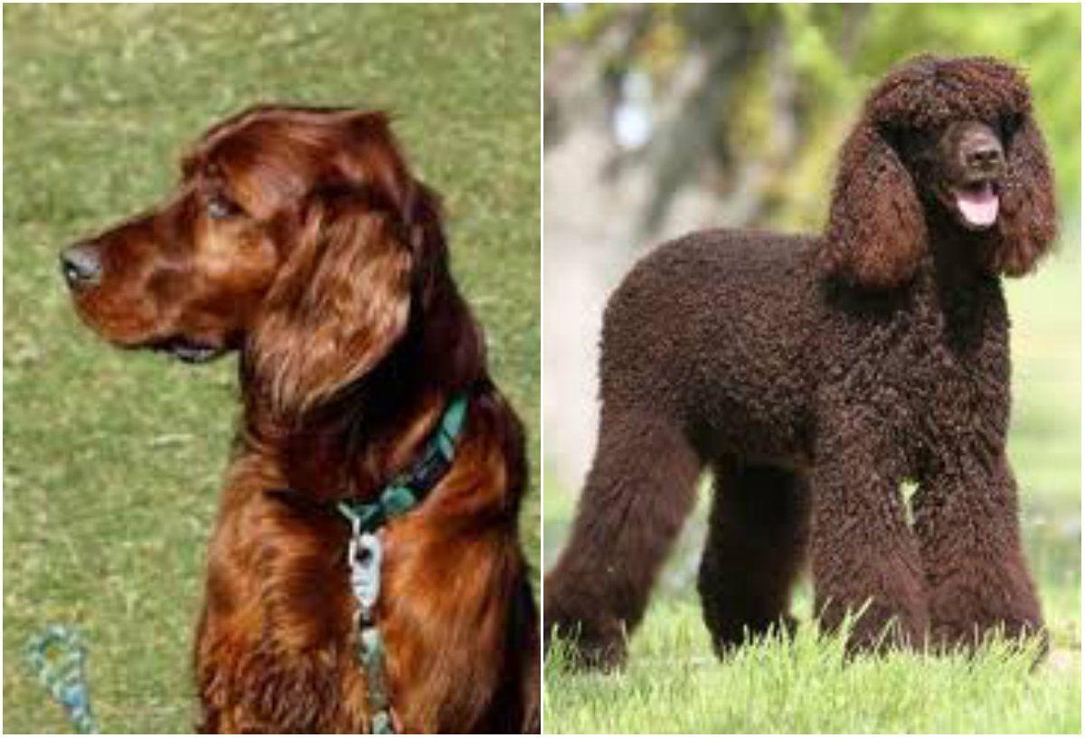 Sporting Dogs Irish Setter and Irish Water Spaniel