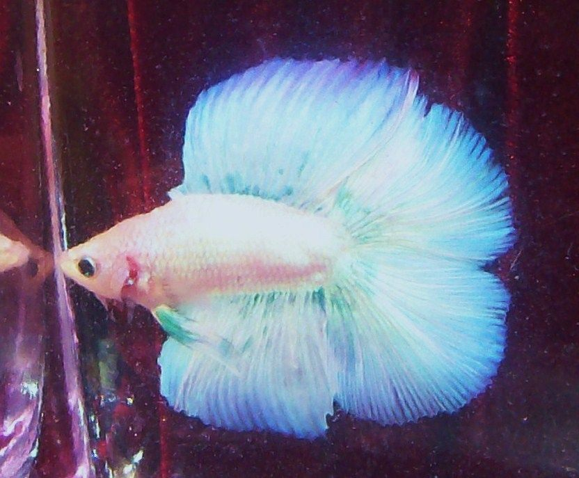 Brilliant Full Moon Doubletail Pastel Green Blue Grizzle Male Betta Live Fish Betta Aquarium Betta Betta Fish