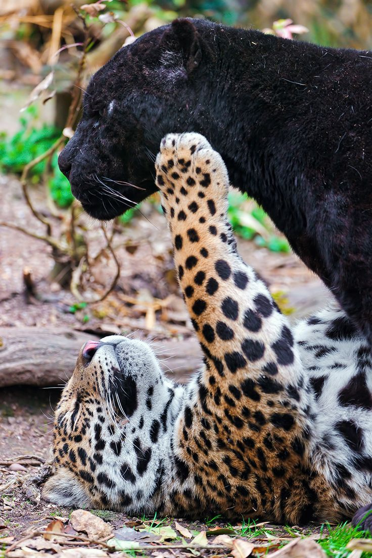 Napo the Jaguar playing with Dad༺♥༻神*ŦƶȠ*神༺♥༻