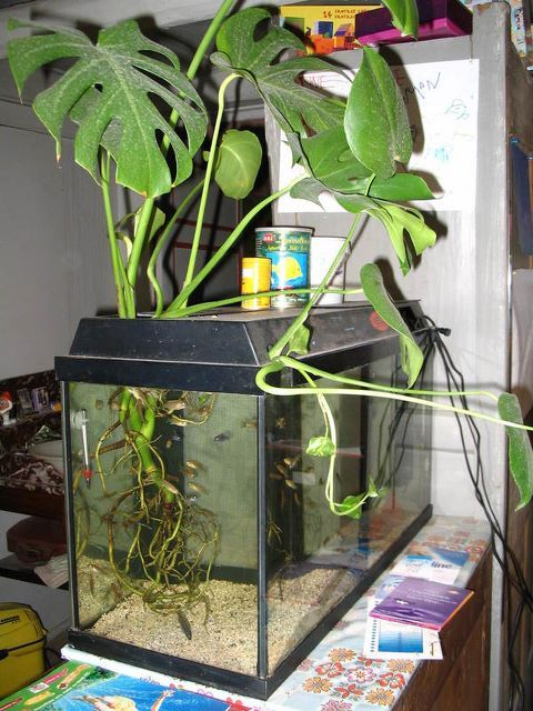 Monstera in tank house plants in aquarium pinterest for Fish tank house