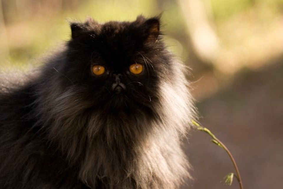 The Feline Photography Of Dave Russo Cat Breeds Persian Cat Cats