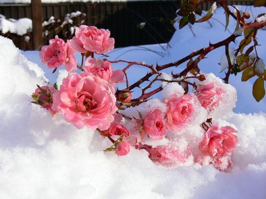 Плейкаст «Цветы под снегом» | Цветы, Красивые цветы, Цветение