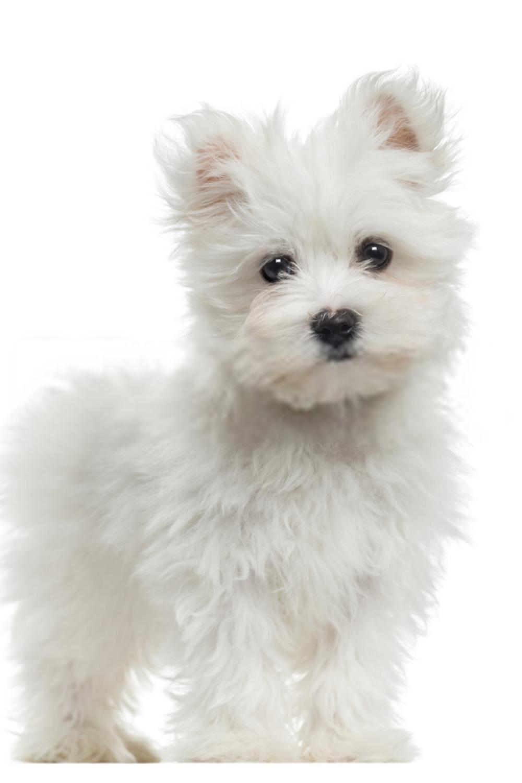 White Maltese Puppy Puppy Maltese In 2020 Maltese Puppy Maltese Breed Teacup Puppies Maltese