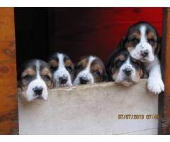 Basset Hound Puppies For Sale Kusa Registered Www Puppies Org