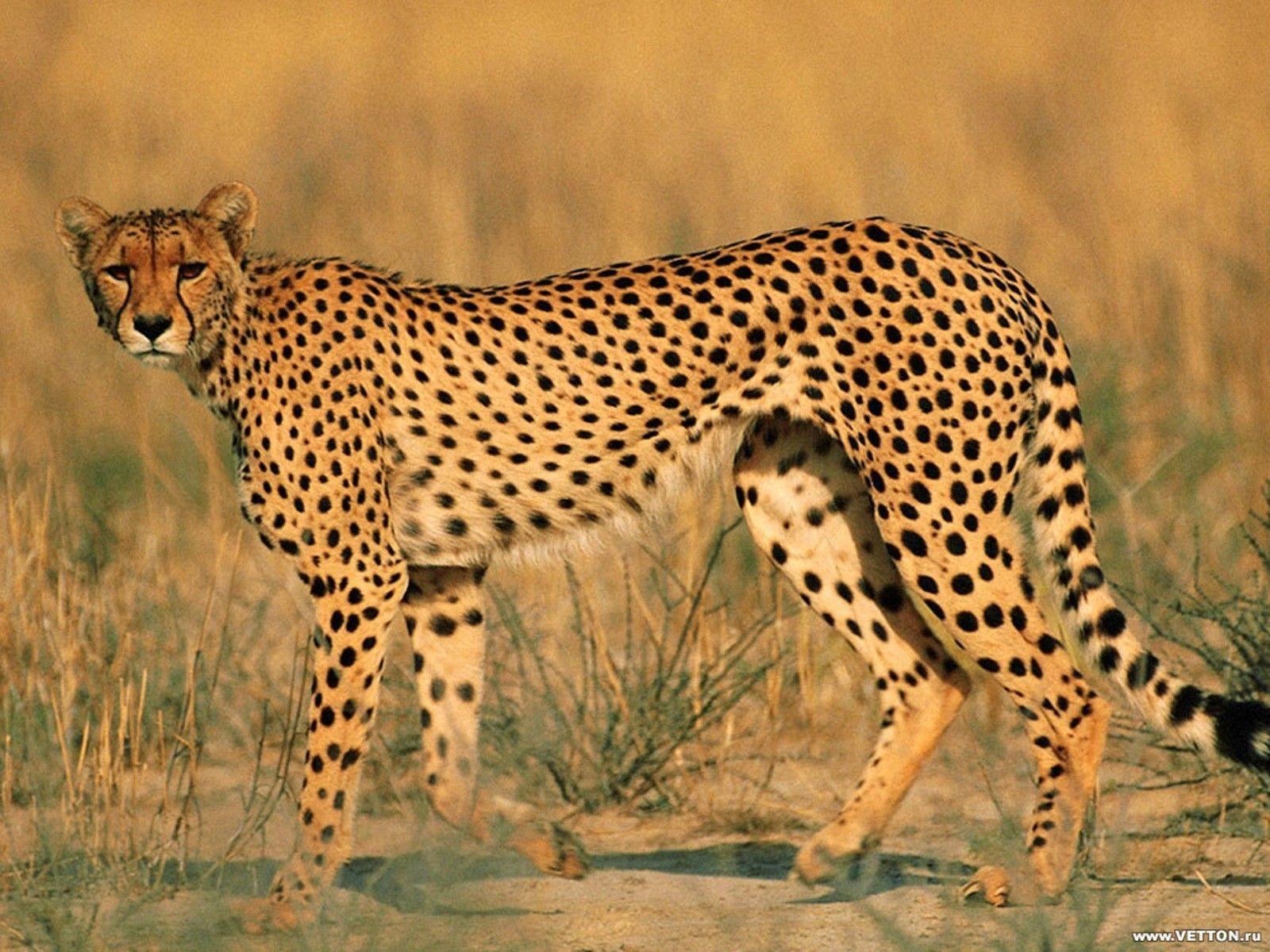 Animals leopards wildlife (1600x1200, leopards, wildlife)  via www.allwallpaper.in