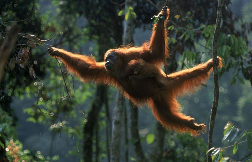 {title} (Dengan gambar) Orangutan, Orang, Kalimantan