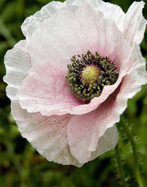 White Poppy | Garden fantasy | Pinterest | Flowers, Delicate and Gardens
