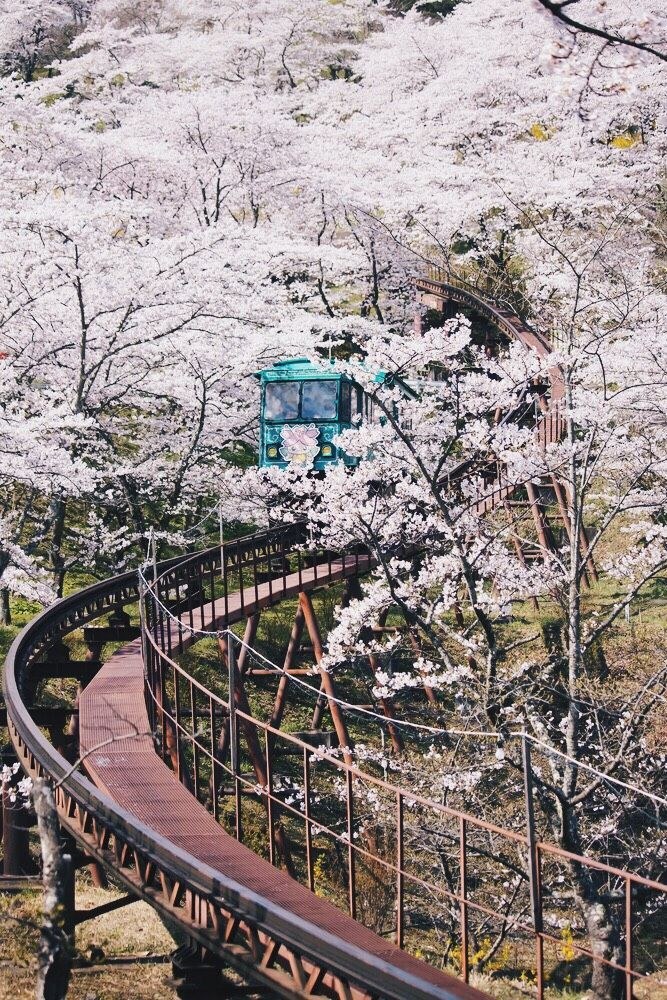 When To See Japan S Cherry Blossom Trees In Full Bloom Japan Travel Cherry Blossom Japan Sakura Tree