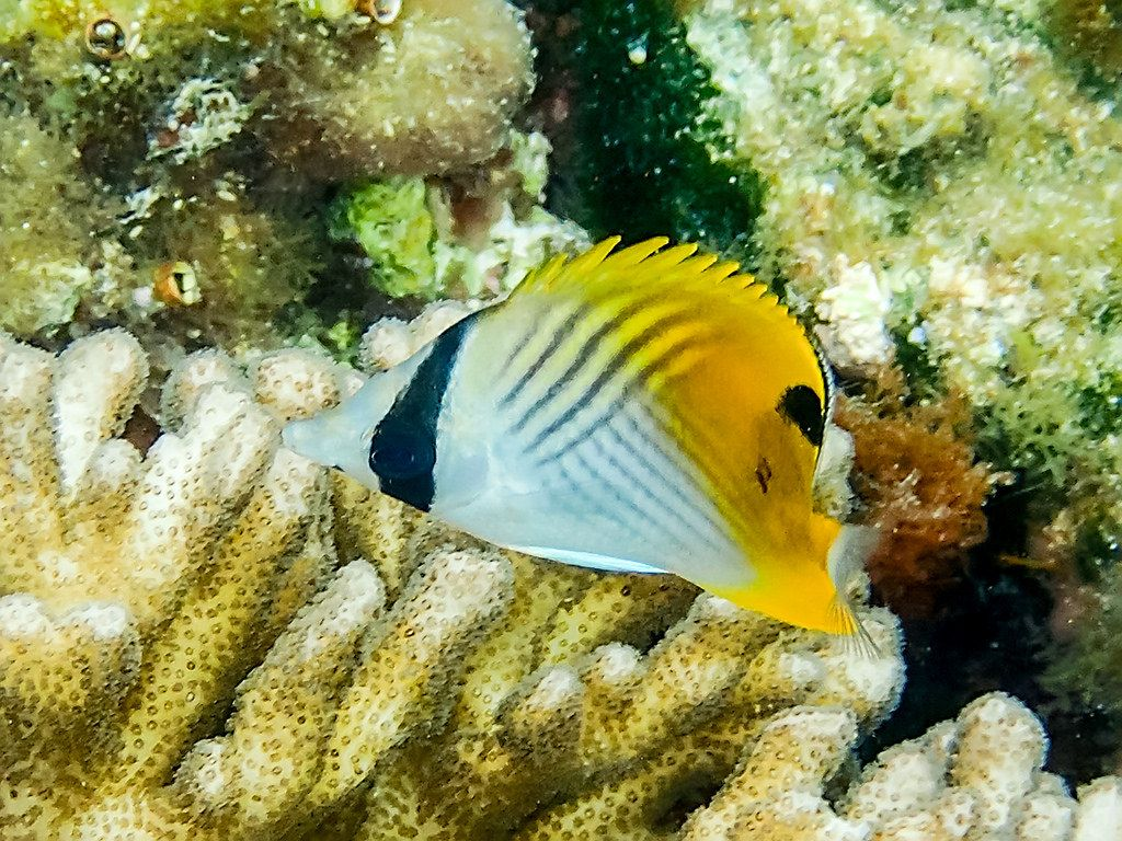 Threadfin Butterflyfish Chaetodon Auriga Sea Life Fish Fish Pet