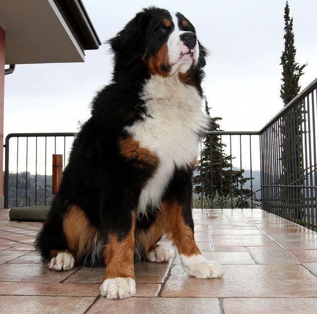#dogimage | Dogs, Bernese mountain dog, Bernese mountain ...