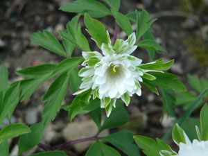 Anemone nemorosa 'Bracteata Pleniflora' - Gefülltes Busch-Windröschen