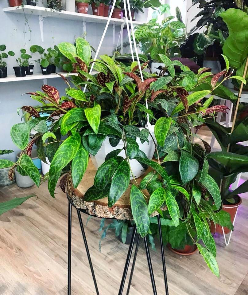 Eszynantus Eschynantus Indoor Plants Indoor Garden Planting Flowers