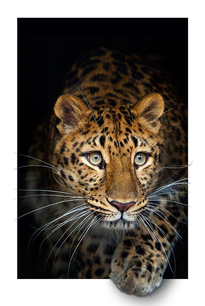 Amur Leopard, Beardsley Zoo, Bridgeport, Connecticut