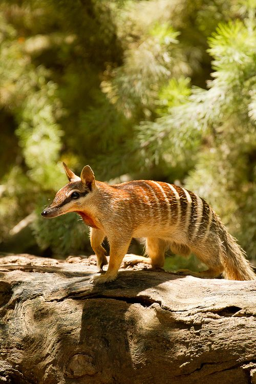 The Numbat Is A Small Carnivorous Marsupial From Australia And The Only Member Of The Family Myrmecobiidae It Is A Spec Animals Weird Animals Unusual Animals