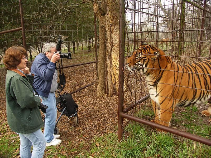 Siberian Tiger is the largest, tallest and the most