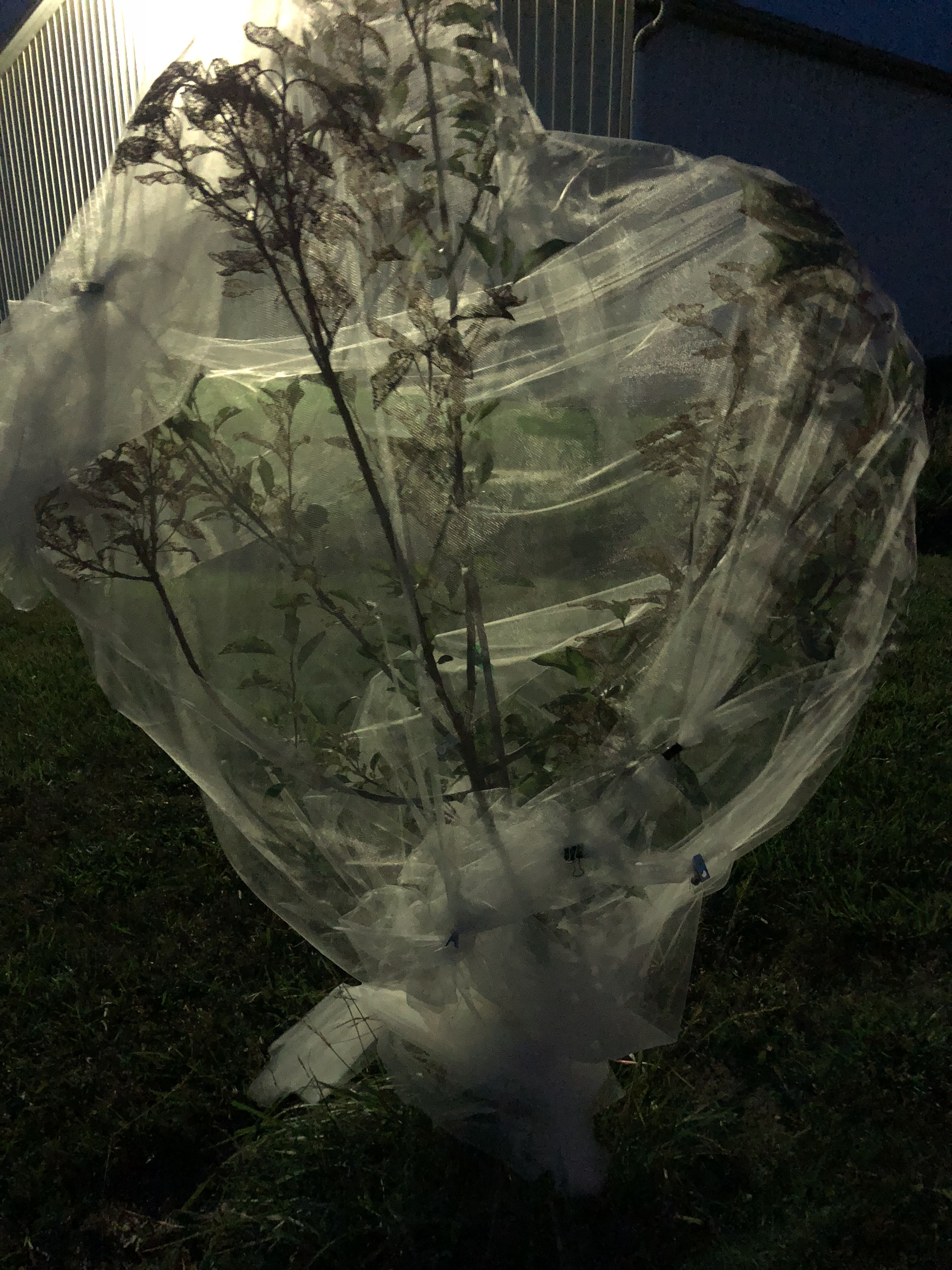 Covered our apple tree with tulle to protect from the