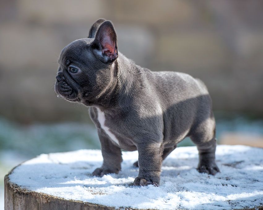 Our Breeding French Bulldog Puppies French Bulldog Blue French
