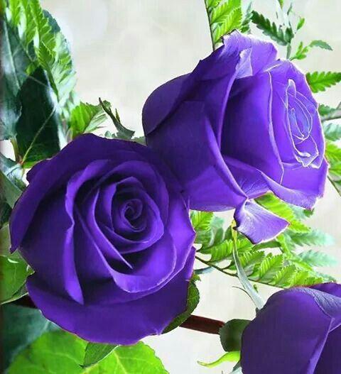 Gulizar Anwar Adli Kullanicinin Purple بنفسج Panosundaki Pin Mor Gul Guller Mor