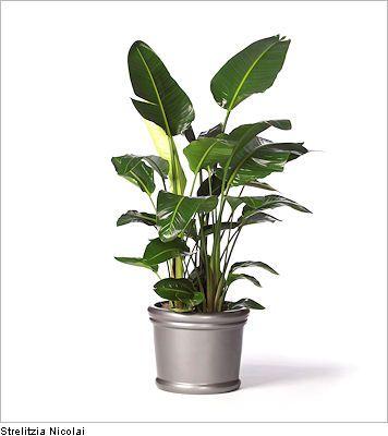 Strelitzia Nicolai live office floor plants for indoor use | Urban ...
