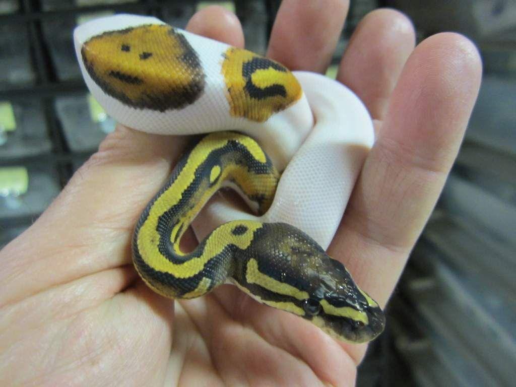 adorable-Ball-Piebald-and-Albino-pythons-for-adoption-511f48abf2f03c5ab711.jpg (1024×768)