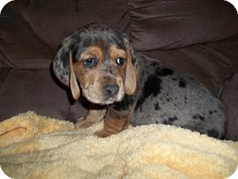 Handsome Vader Is A 8 Week Old Basset Catahoula Mix Boy He Is As