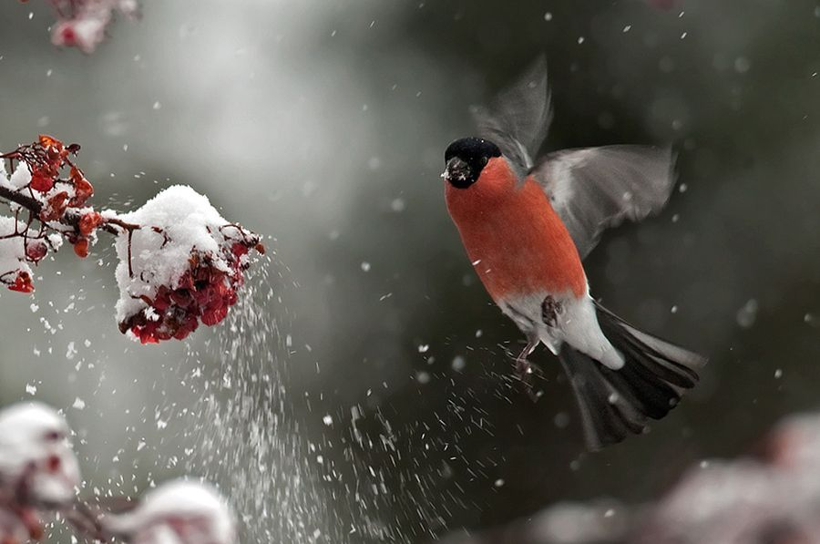 bullfinch - She appears excited that she found berries for her Babies