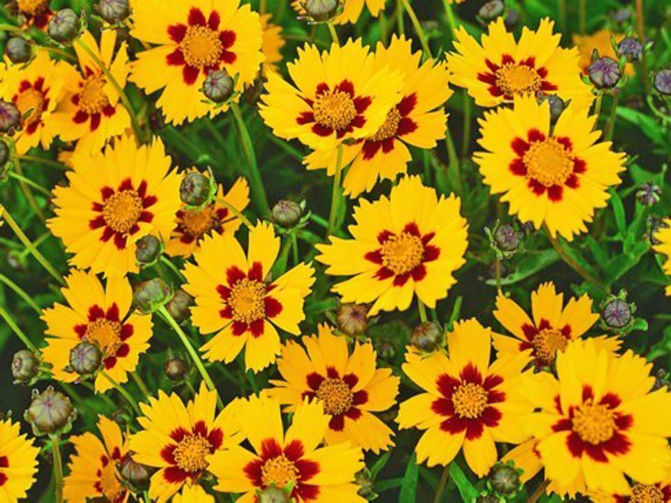 Photo of Choosing a Coreopsis for Your Garden – Garden inspiration landscaping flower beds | gartj