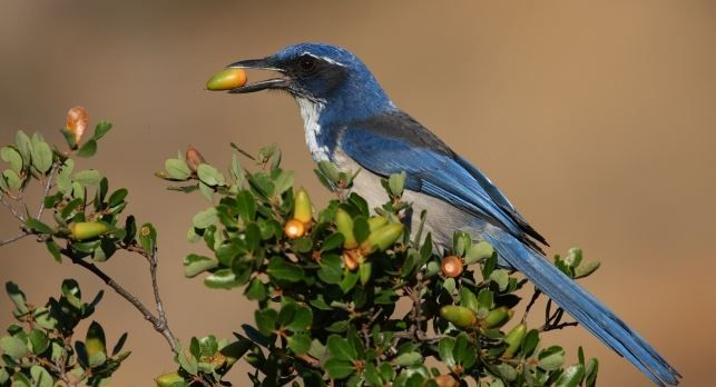 A new count of island scrub jays makes them one of the 10 rarest songbirds in the continental United States. http://oak.ctx.ly/r/18pp    http://sphotos-a.xx.fbcdn.net/hphotos-ash4/374471_10151124378536761_753564472_n.jpg