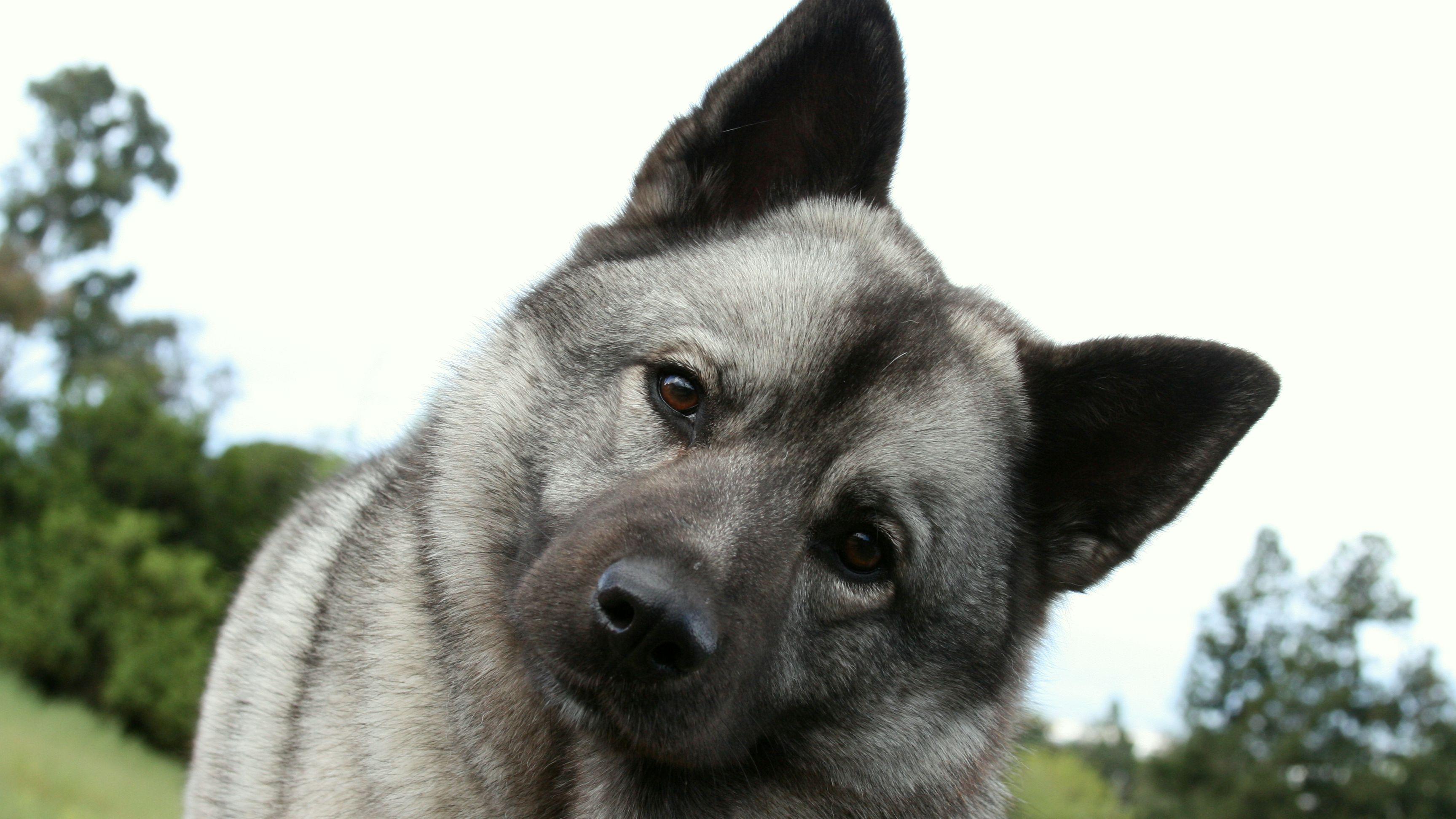 Best Cheap Dog Toys Norwegian Elkhound Cheap Dog Toys Dogs