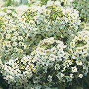 Lobularia maritima 'Sweet White' Window Box plant. Click image to add to your lists and to get care advice from Shoot Other names: Sweet alyssum 'Sweet White', Alyssum maritimum 'Sweet White', AlyAlyssum maritima procumbens 'Sweet White'    Genus: Lobularia    Variety or cultivar: 'Sweet White' _ 'Sweet White' is a compact, branching, mat-forming annual with linear, grey-green leaves and white, honey-scented flowers in summer. The aromatic flowers attract hoverflies and other beneficial…
