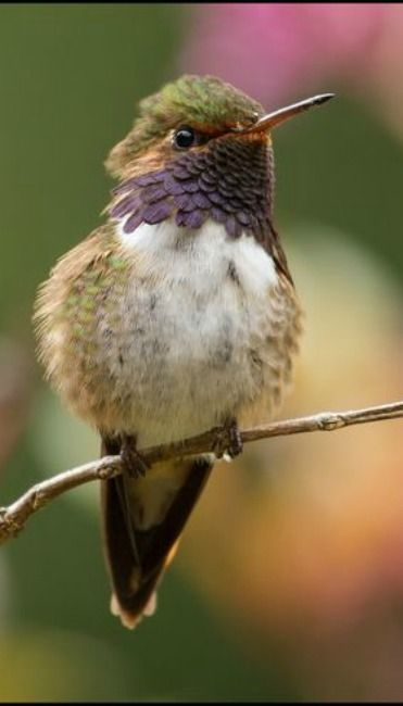 Volcano Hummingbird (Selasphorus flammula) male perched on a branch at the highlands of Costa Rica | by Chris Jimenez