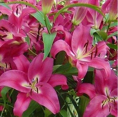 스페셜 다를 컬러 심장 릴리 식물 씨앗 화분 분재 공장 백합 꽃 씨앗 홈 정원 10 씨앗/많은