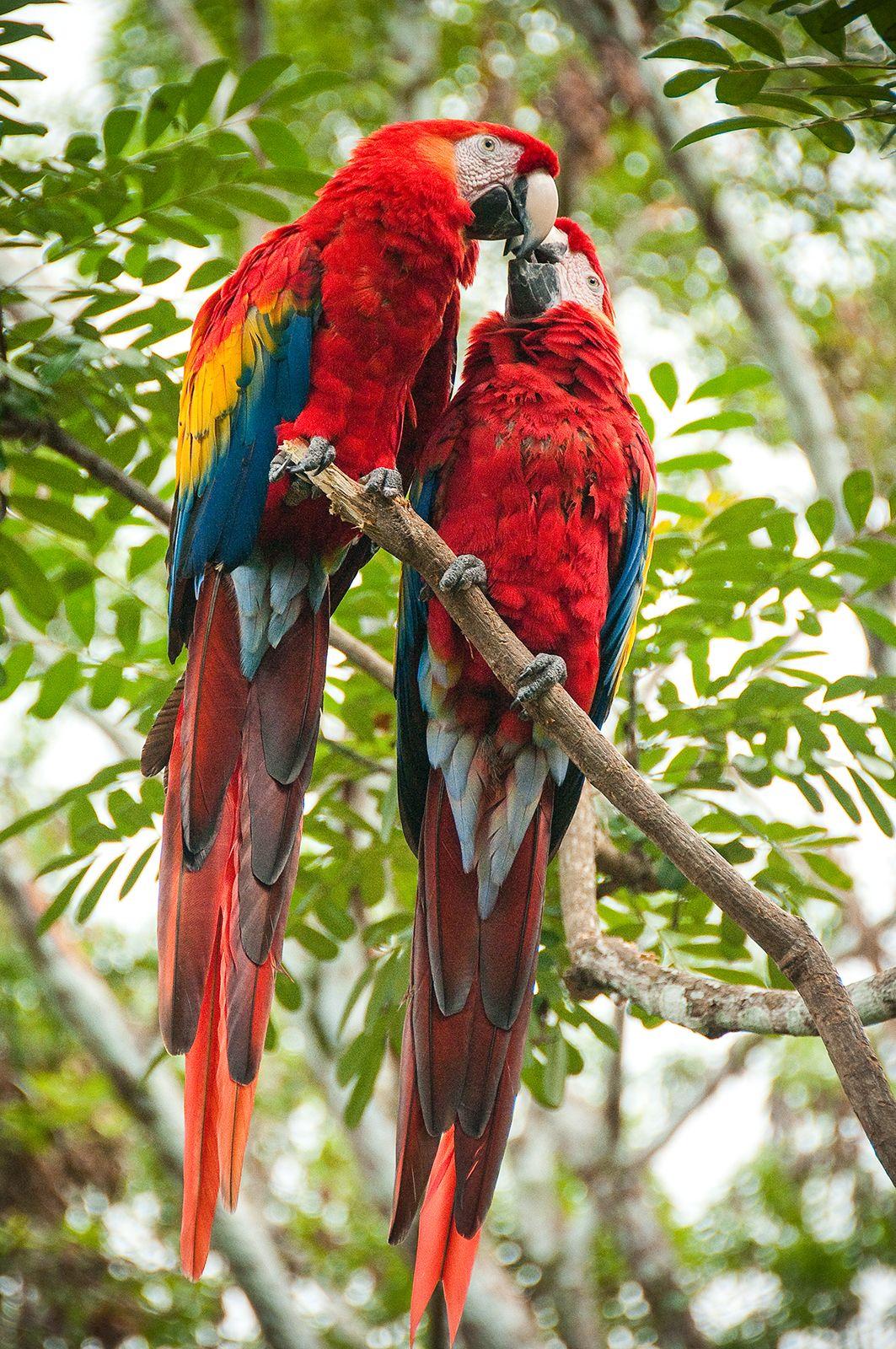 Travel El Peten And Ecotourism A Guatemalan Success Story Estacion Biologica Las Guacamayas Is Home To A Scarlet Ma Ecotourism Parrot Central America Travel