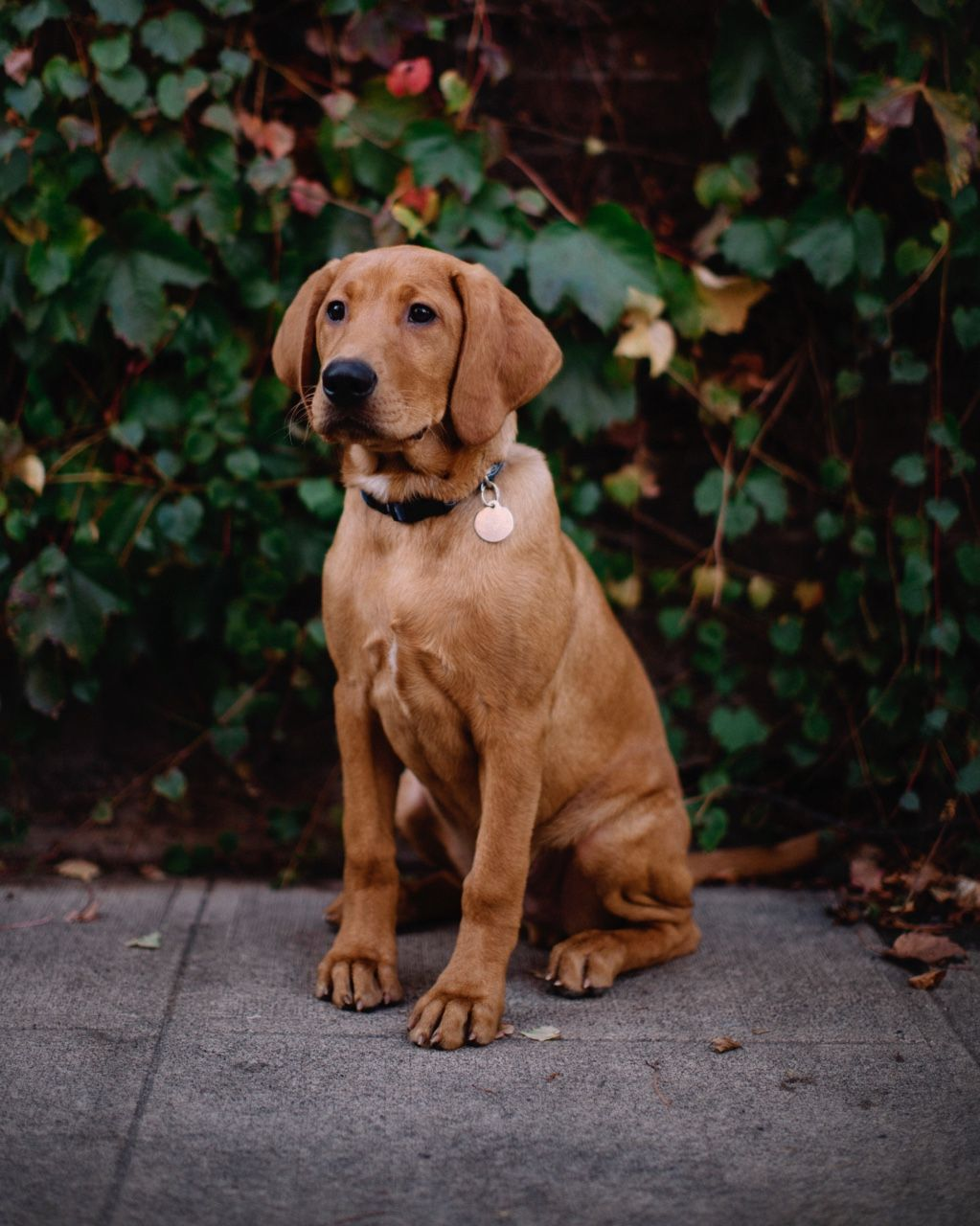 Pin by Kate Parman on woof. Dogs, Fox red labrador