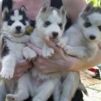 Adorable Male And Female Siberian Husky Puppies Offer Los Angeles