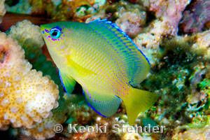 Blueeye Damselfish (Plectroglyphidodon johnstonianus)