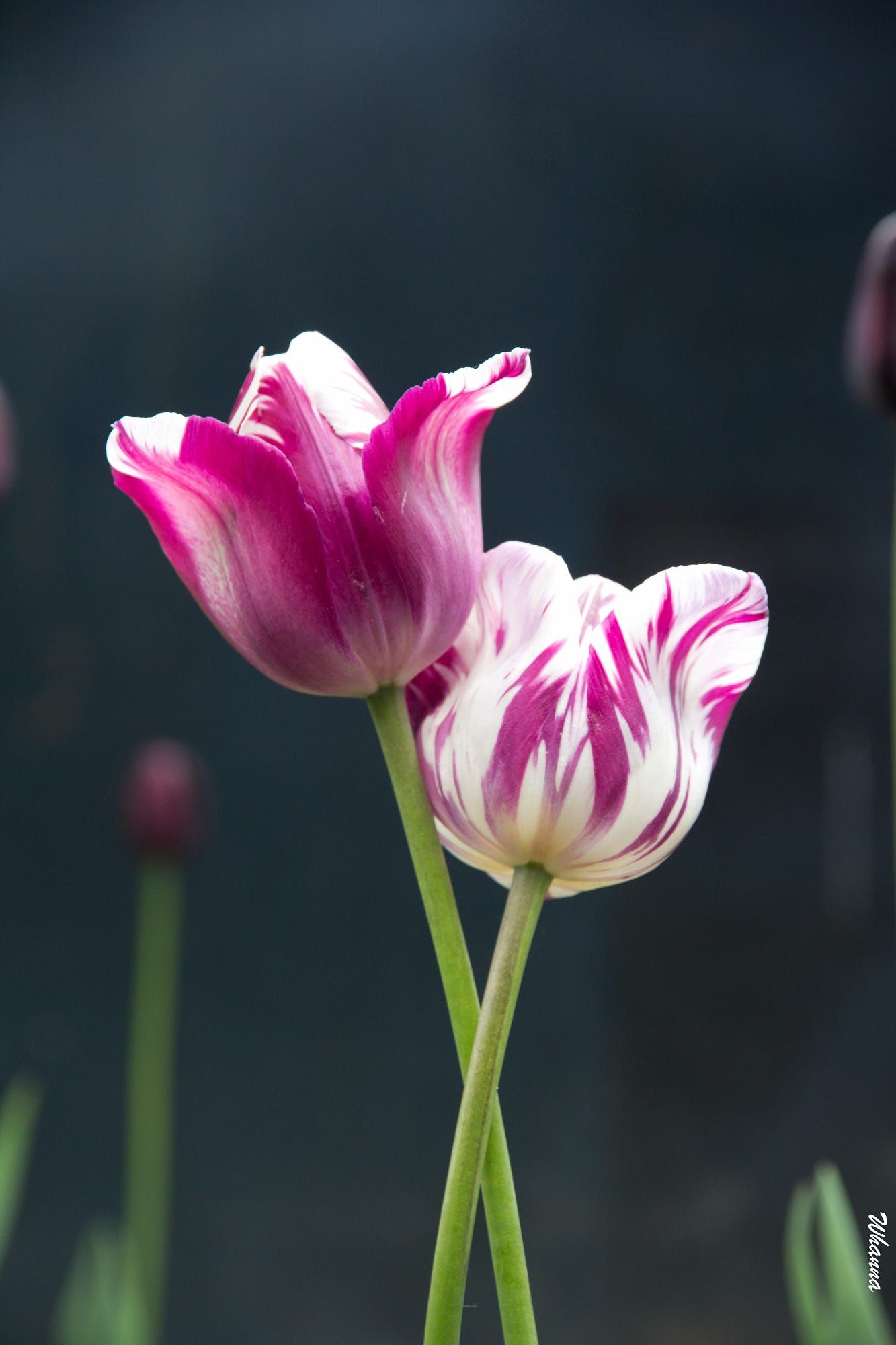 Unprocessed Tulip Flower Pictures Flowers Photography Bulb Flowers