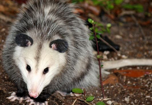 How to Get Rid of Possums in the Yard in 2020 | Possum ...