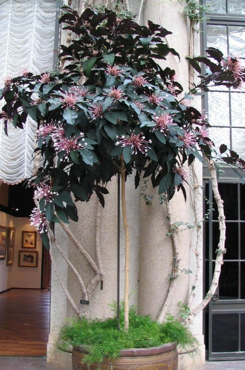 Clerodendrum - garden of your dreams on the windowsill