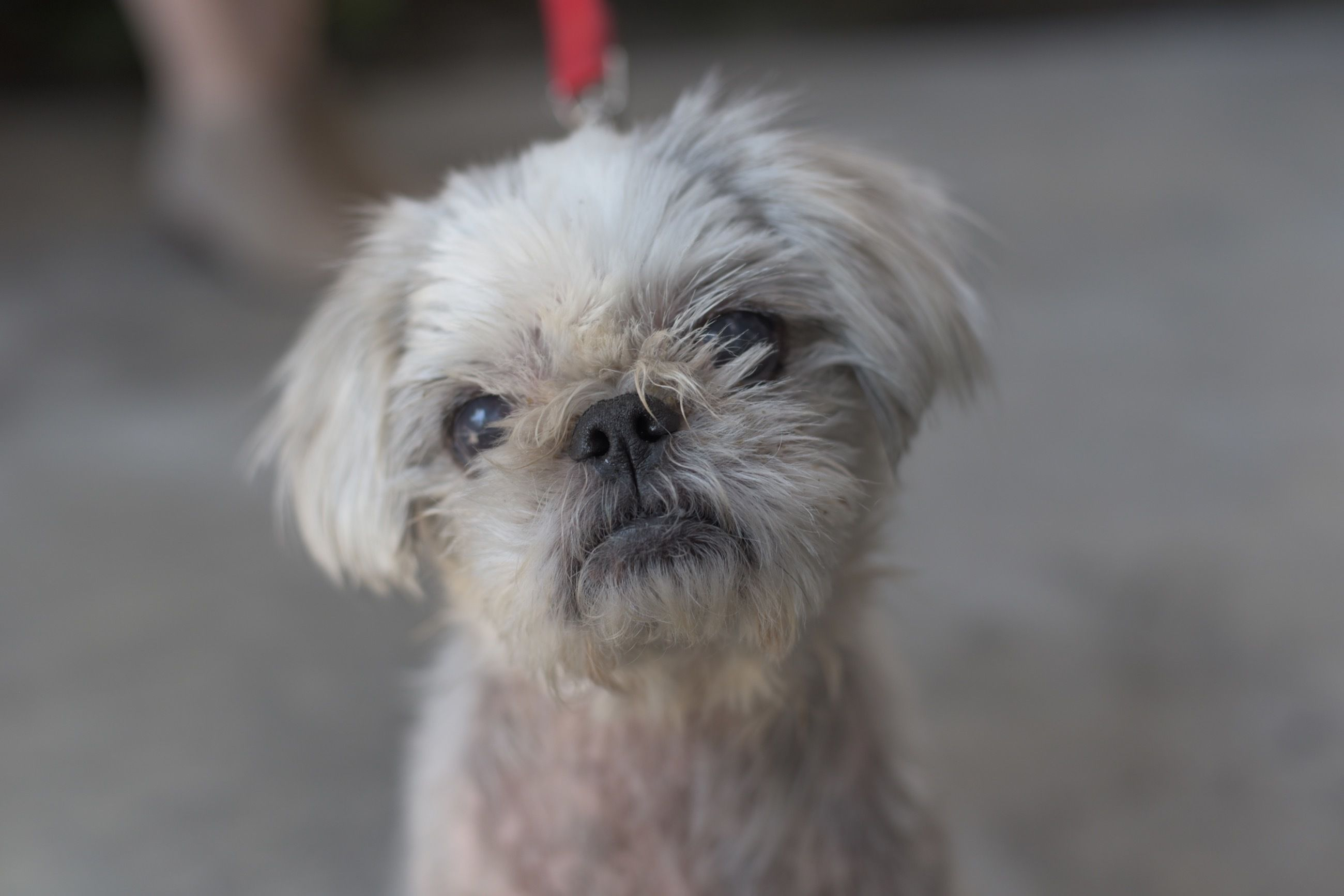 Adopt Willa On Dogs Dogs Pet Search Shih Tzu Dog
