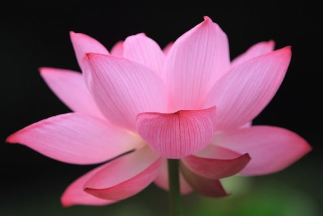 The Lotus Particularly Seen In Mythology When Odysseus And His